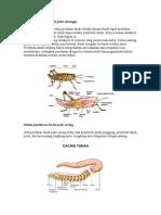 Sistem Peredaran Darah Pada Serangga