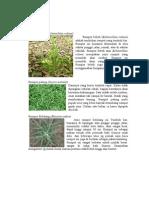 Klasifikasi rumput tanaman makanan ternak