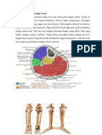 Anatomi Dan Fisiologi Regio Cruris