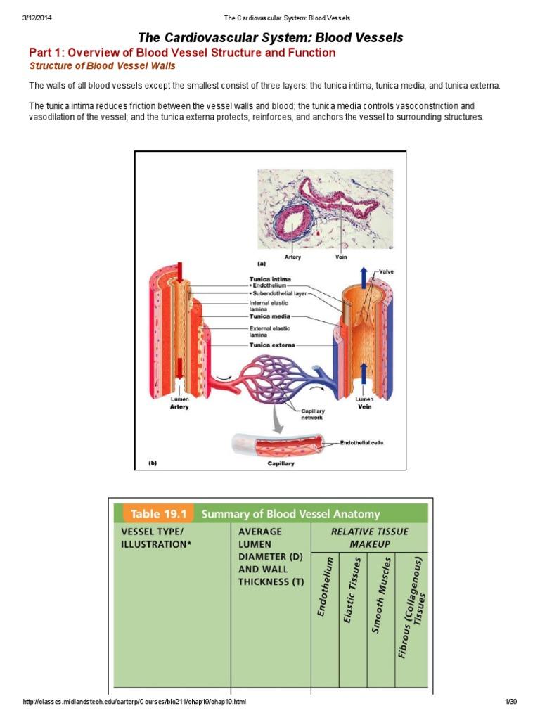 The Cardiovascular System_ Blood Vessels | Capillary | Circulatory ...
