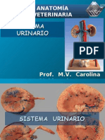 Sistema urinario. (Prof. Carolina Maldonado)