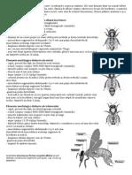 Morfologia albinelor