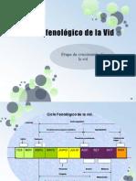 Ciclo fenológico de la Vid