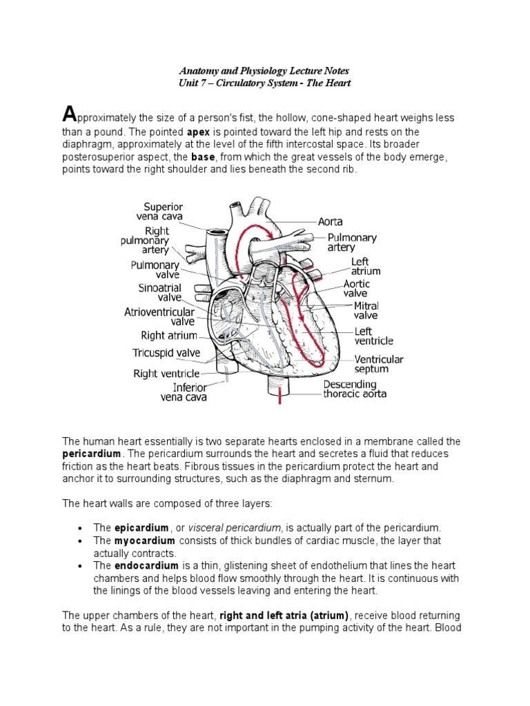 Anatomy Lecture Notes Unit 7 Circulatory System - The Heart.doc ...