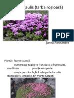 Silene acaulis (Iarba roșioară)