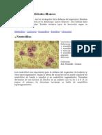 Leucocitos o Glóbulos Blancos