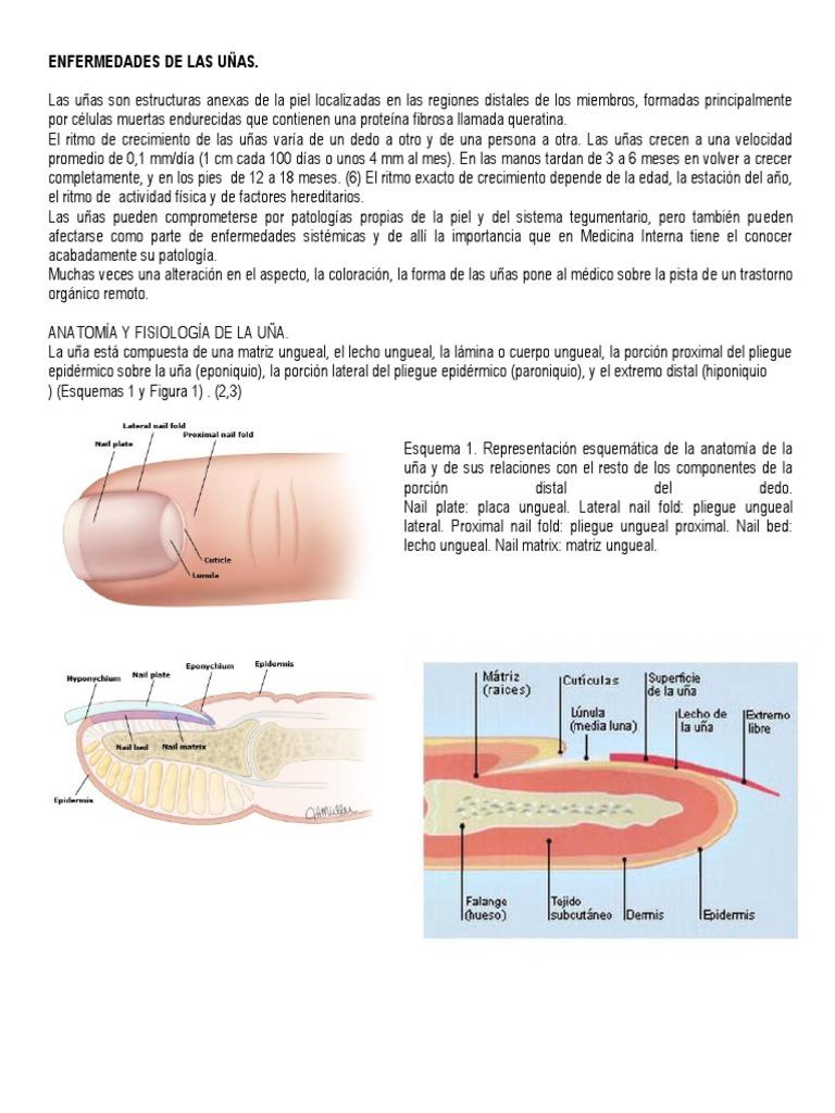 Fantástico La Anatomía De Uñas Regalo - Anatomía de Las Imágenesdel ...