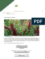 Como Plantar Amaranto _ Hortas