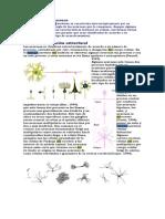 02 - (_!)clases de neuronas .pdf