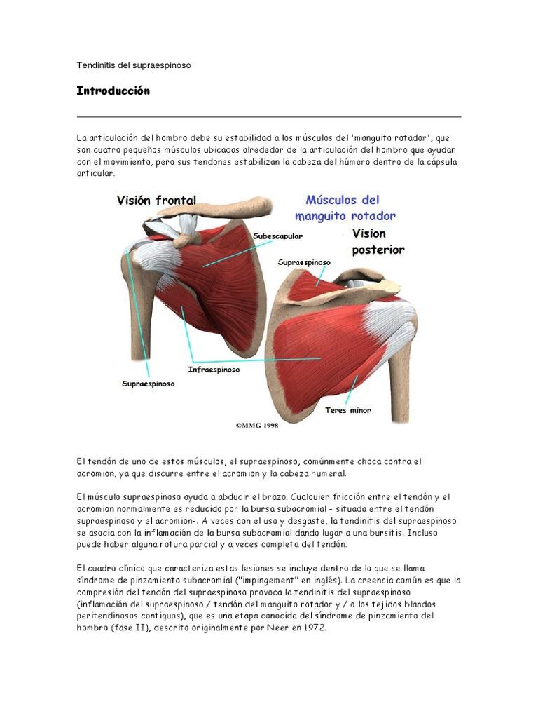 Asombroso Hombro Anatomía Del Manguito Rotador Ilustración ...