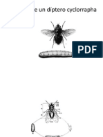 Familia Calliphoridae Entoveterinaria