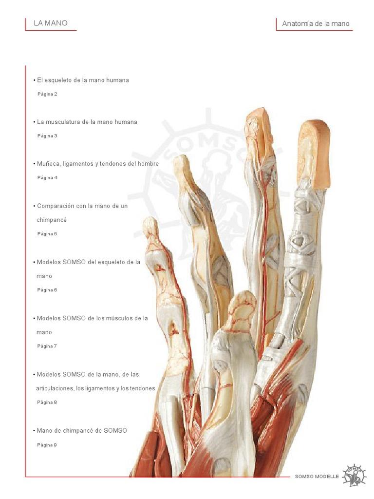 Contemporáneo Tendones Anatomía Humana Y Ligamentos Imágenes ...