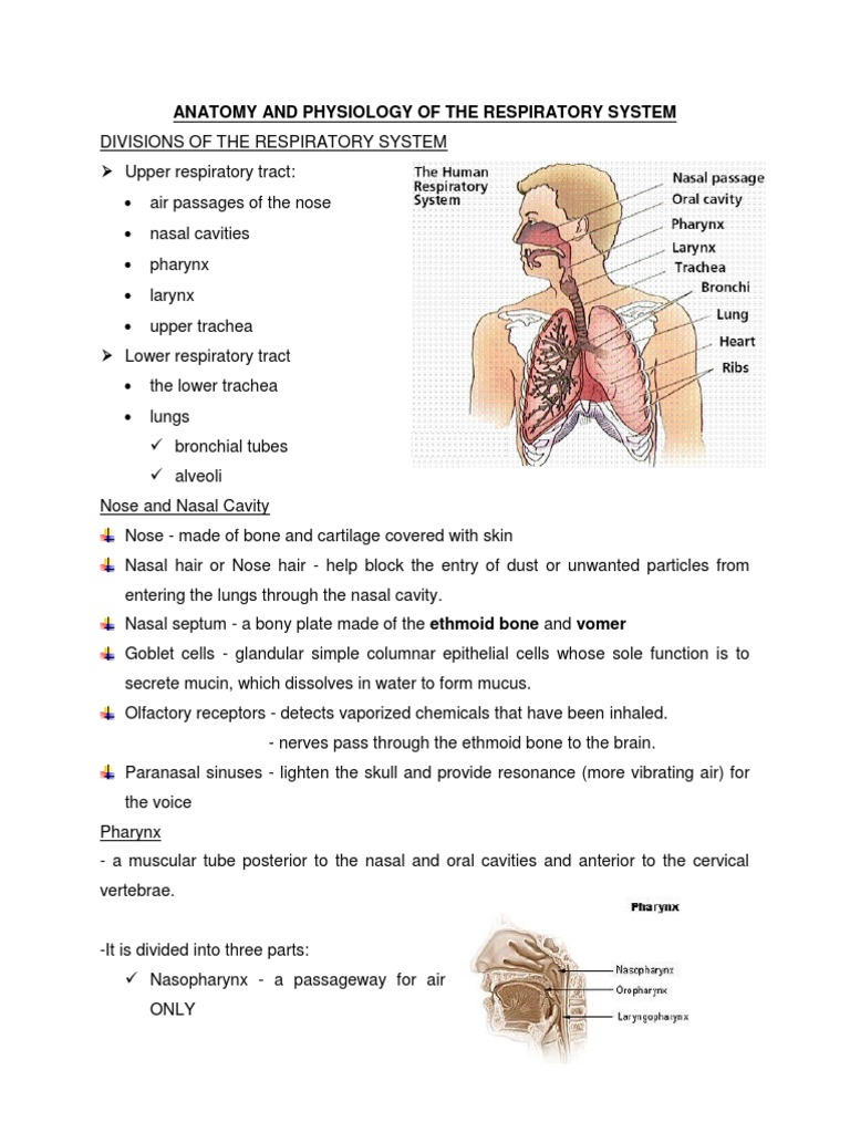 Anatomy and Physiology of the Respiratory System (Handouts) | Lung ...