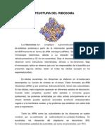 Estructura Del Ribosoma