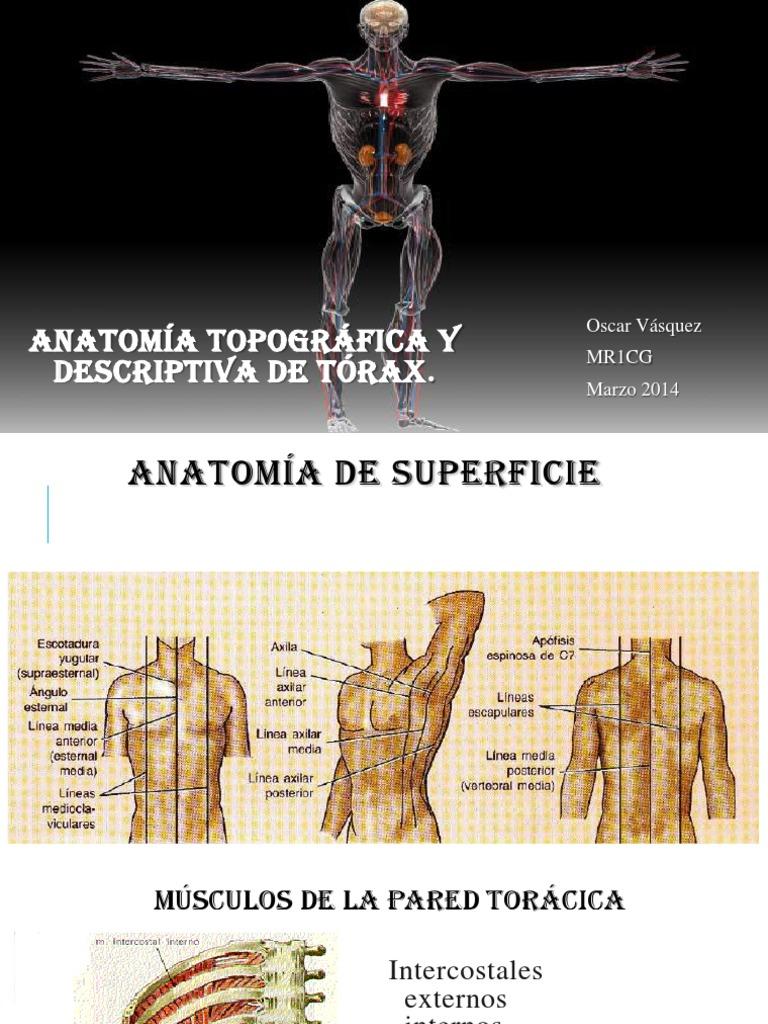 Anatomía torax