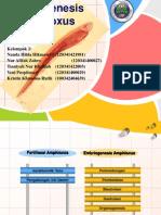 embriogenesis amphioxus