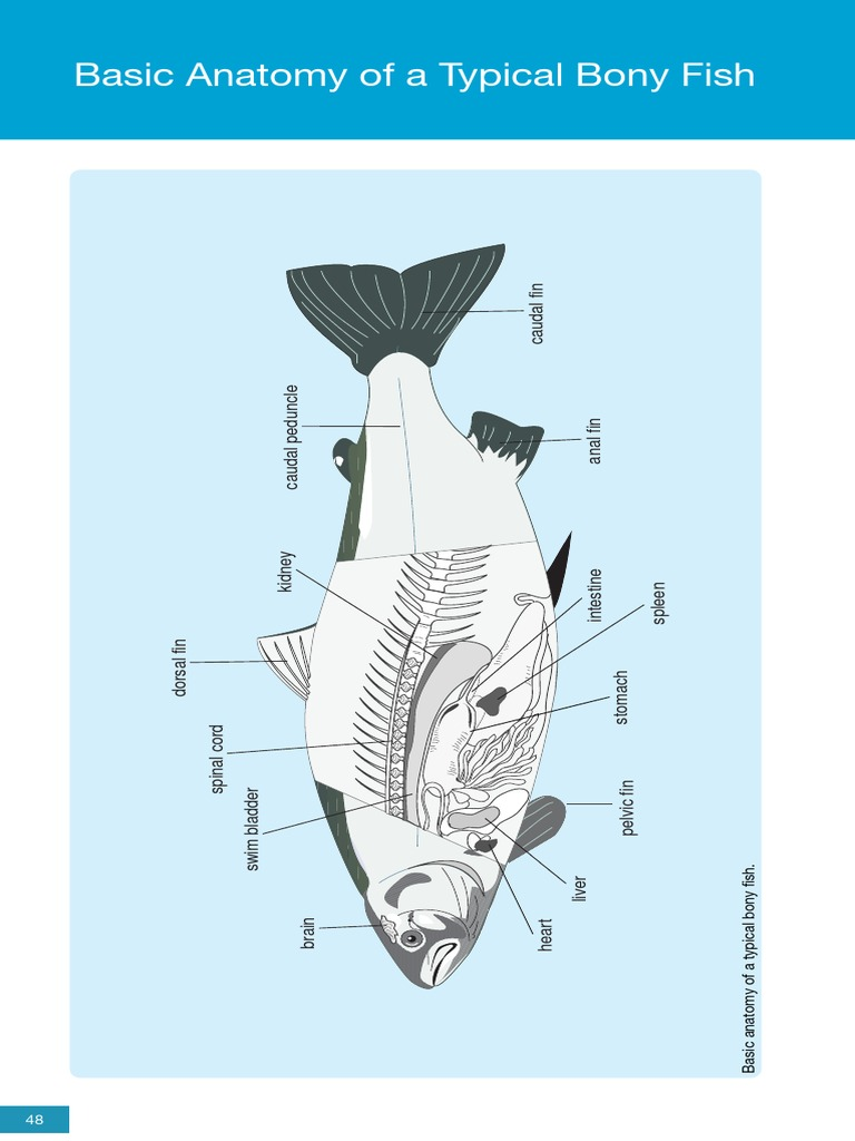 Anatomy of fish fixation histology public health pooptronica