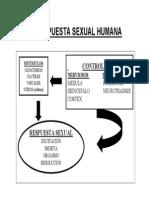 Respuesta Sexual Humana Bueno