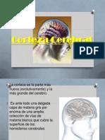 Expo Corteza Cerebral