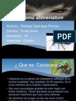 Calosoma abbreviatum