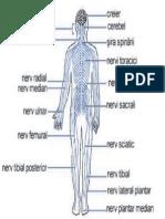 Corpul Uman Nervi