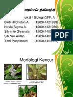 Kencur ( Kampferia galanga)