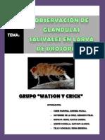 OBSERVACIÓN DE GLANDULAS SALIVALES EN LARVA DE DROSOPHILA