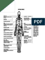 Sistema inmune y los ganglios linfáticos