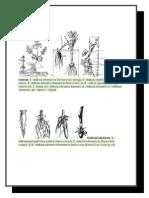 Tipuri de rădăcini