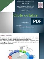 Presentacion. Ciclo Celular