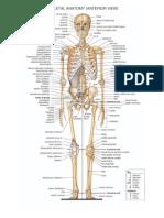 Gambar Anatomi Tulang Manusia