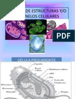 Ppt Función de Estructuras y Organelos