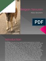 Belgian Terveren