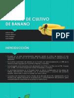 Proceso de Cultivo de Banano