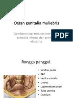 2 Genitalia Muliebris