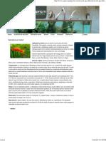 Xiphophorus Helleri - Aquascaping Romania