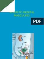 aparato genital masculino 2.ppt