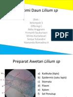 Anatomi Daun Lilium Sp