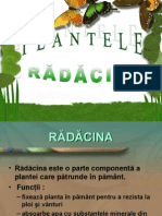 partile plantelor radacina