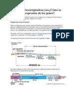 Cómo Se Regula La Expresión de Los Genes Osito