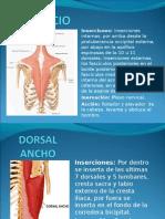 Musculos Posteriores Del Torax (Region Superficial)
