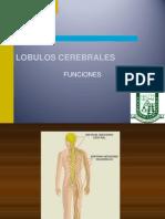 3 lobulos cerebrales