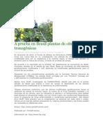 A prueba en Brasil plantas de cítricos transgénicas.pdf