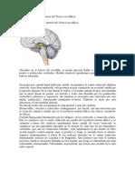 5.-(2)Bulbo, Puente, Mesencefalo, Cerebelo