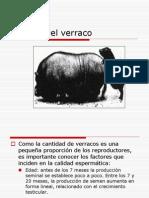 Manejo Del Verraco