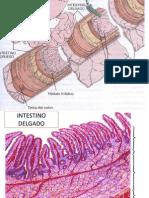 Presentación de sistema  DIGESTIVO (epitelios)