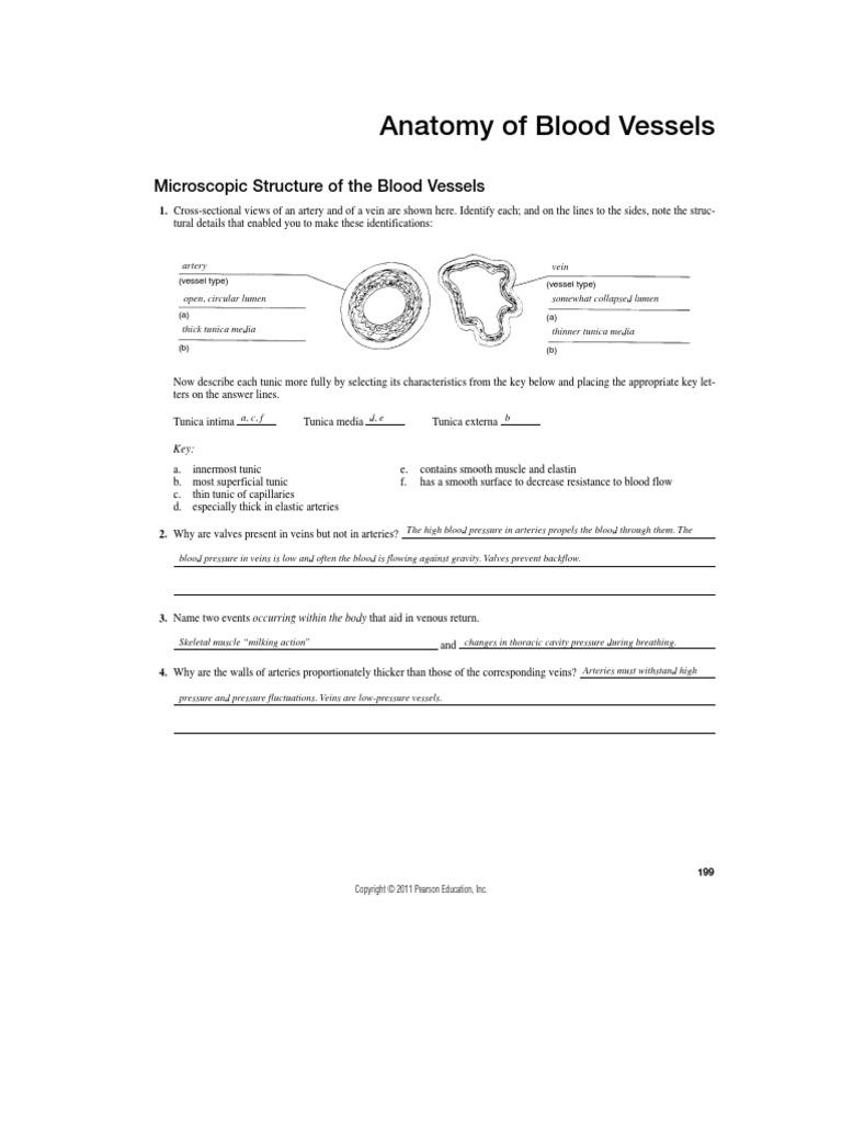 blood vessels review sheet vein circulatory system. Black Bedroom Furniture Sets. Home Design Ideas