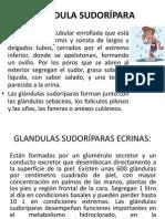 GLÁNDULA SUDORÍPARA