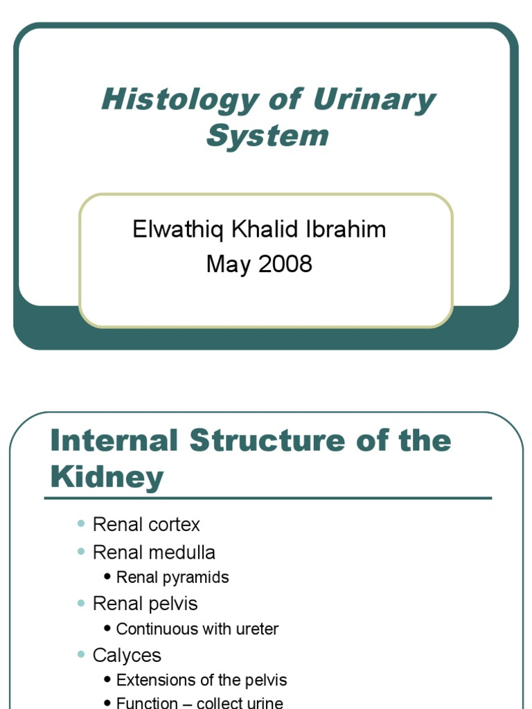 Histology Of Urinary System Kidney Physiology