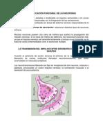 Clasificación Funcional de Las Neuronas